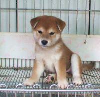 [台灣高秋莊][專業品質]優質日本柴犬**歡迎.鑑賞.頂級柴犬,优惠的價格_圖片(1)