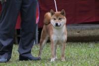 伏龍柴犬莊,專門經營柴犬買賣、配種、比賽等_圖片(1)