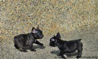 優質法國鬥牛犬幼犬出售_圖片(2)