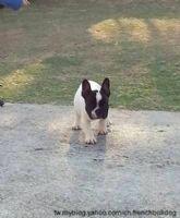 優質法國鬥牛犬幼犬出售_圖片(3)