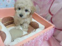 甜美ˇ杏仁奶油貴賓Baby _圖片(1)