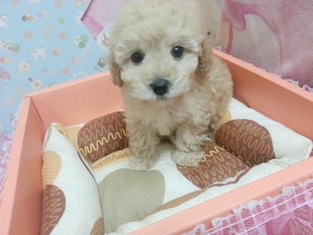 甜美奶油貴賓Baby♥ - 20130611035758_894310611.jpg(圖)