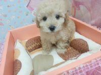 甜美奶油貴賓Baby♥_圖片(1)
