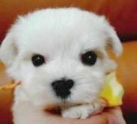 純白《 瑪爾濟斯幼犬 》_圖片(1)