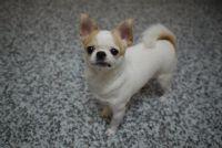 ****基隆市七堵區懇請各位幫忙協尋愛犬吉娃娃****_圖片(1)