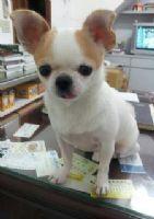 ****基隆市七堵區懇請各位幫忙協尋愛犬吉娃娃****_圖片(3)