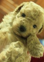 ♫〞淡奶油泰迪熊玩具貴賓 ♫〞_圖片(1)
