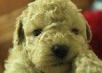 ♫〞淡奶油泰迪熊玩具貴賓 ♫〞_圖片(3)