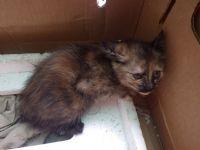 台東市/台北市  1個半月大的虎斑貓免費送養喔~~!!_圖片(1)