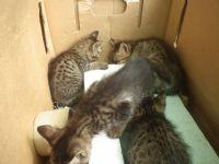 台東市/台北市  1個半月大的虎斑貓免費送養喔~~!!_圖片(2)