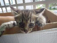 台東市/台北市  1個半月大的虎斑貓免費送養喔~~!!_圖片(3)