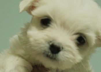 無辜大眼系《 瑪爾濟斯幼犬 》 - 20130614205611_214663118.jpg(圖)