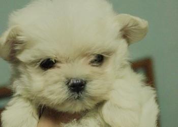 無辜大眼系《 瑪爾濟斯幼犬 》 - 20130614205611_214674054.jpg(圖)
