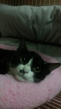 賓士貓等待認養中_圖片(3)