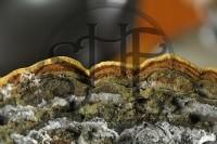 【黃金桑黃王】【野生桑黃子實體獨家萃取技術】【SHF001】_圖片(3)