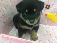 日系小柴犬_圖片(1)