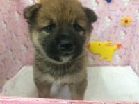 日系小柴犬_圖片(3)