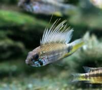 狂熱水族館:稀有燈科魚.南美野生短鯛.小型野生異形魚.進口水族用品.專賣_圖片(2)