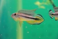狂熱水族館:稀有燈科魚.南美野生短鯛.小型野生異形魚.進口水族用品.專賣_圖片(3)