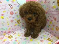 ♥▫ 泰迪熊寶貝 ♥▫ 紅貴賓♥_圖片(2)