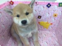 ♥▫ 活潑頑皮 ♥▫ 赤柴犬♥_圖片(1)