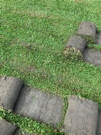 草皮自產自銷_圖片(4)