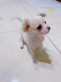 台中市 長毛吉娃娃公幼犬_圖片(1)
