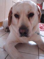 尋獲一隻雄性黃色拉布拉多~2歲_圖片(1)
