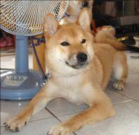{協尋}我的柴犬兒子 基隆走失 請幫幫忙協尋_圖片(1)
