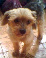 拜託!!協尋愛犬威威 已經失蹤一個禮拜了 頭約克夏 身體馬爾濟斯 公狗 民族西路 感謝金10000~_圖片(1)
