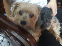 拜託!!協尋愛犬威威 已經失蹤一個禮拜了 頭約克夏 身體馬爾濟斯 公狗 民族西路 感謝金10000~_圖片(2)
