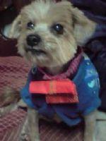 拜託!!協尋愛犬威威 已經失蹤一個禮拜了 頭約克夏 身體馬爾濟斯 公狗 民族西路 感謝金10000~_圖片(4)